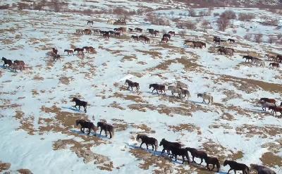Divlji livanjski konji na snijegu
