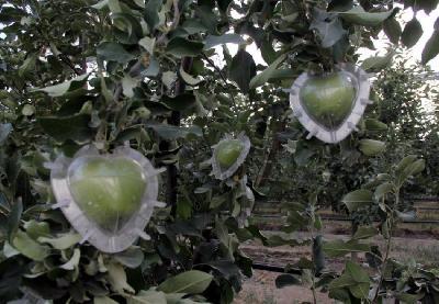 Inženjer šumarstva uzgaja voće i povrće u obliku srca, kocke i zvijezde